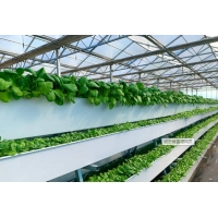 Best Tomato Plant  Hydroponic Good Weather Resistance Agricultural Greenhouse wholesale