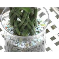 China Tower rond lucky bamboo (Indoor ornamental plants) on sale