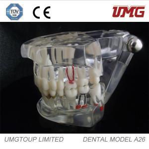 China A26 Dental teaching model/Dental teeth model/teeth and dental models on sale