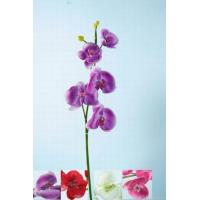 Best Phalaenopsis Orchids wholesale