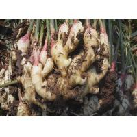 Best 2016 New Fresh Chinese Yellow Color Ginger Export to Karchi Port, Pakistan wholesale