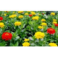 Best 20%-50% Tagetes Erecta Extract ( Lutein ) ,  Natural Dietary Supplement Ingredient wholesale
