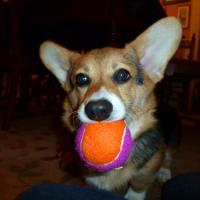 Best Dog Playing Tennis Ball wholesale
