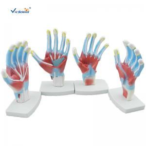 China Laboratory Educational Anatomy Models  Palm Model VIC-325 on sale