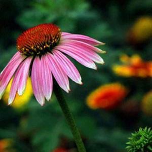 Best Echinacea Extract Powder, Polyphenols, Chicoric Acid wholesale
