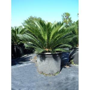 Cycas Revoluta Bulb The Sago Palm