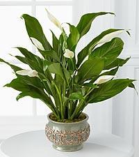 China Fresh Cut Flower -- Bromeliad -- Guzmania Focus on sale