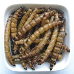 Best Microwave dried superworm-Fish food wholesale