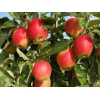 China Apple extract on sale