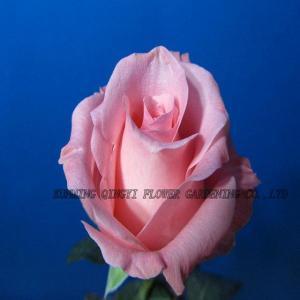 China Fresh Cut Flowers on sale
