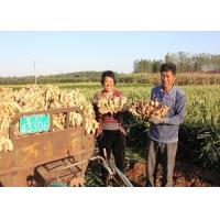Best 2016 New Fresh Chinese Yellow Color Ginger Export to Chittagong Port, Bangladesh wholesale