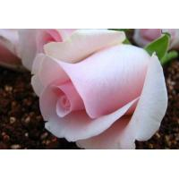 China Fresh cut flowers- Pink Roses flower PinkLady on sale