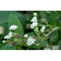 China Enzymatically Modified Stevia leaves extract natural sweetener on sale