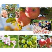 Best 2016 New Crop China Fresh Natural Red and Green Color Apple Fuji Variety wholesale