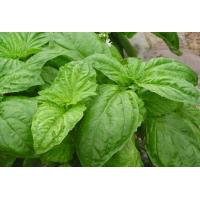 China lower blood pressure and blood sugar Ocimum Sanctum extract/Basil leaf extract 10:1 on sale