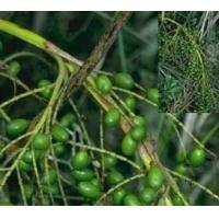 Best Wholesale for Impotence/ prostate health Saw Palmetto Fruit Extract Fatty wholesale