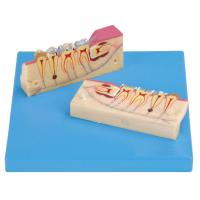 China 12 Positions are Displayed of Dissected Model of Teeth TIssue on sale
