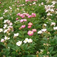 Best Hot Products English White Peony Root Extract wholesale