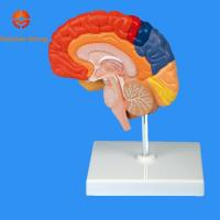 Best Right Brain With Different function area wholesale