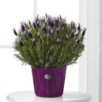 Buy cheap Soothing Lavender Plant WGP377 from wholesalers