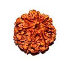China RUDRAKSHA BEADS > 7 Mukhi Nepali Rudraksha on sale