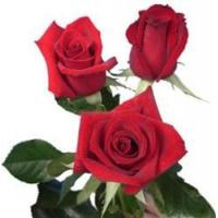 Buy cheap Charlotte Red Rose from wholesalers
