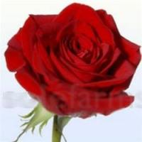 Buy cheap Freedom Red Rose from wholesalers