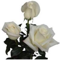 Buy cheap Virginia Creamy White Rose from wholesalers