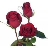 Buy cheap Forever Young Red Rose from wholesalers