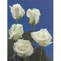 Buy cheap Blizzard White Rose from wholesalers