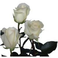 Buy cheap Anastasia White Rose from wholesalers