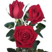 Buy cheap Classy Red Rose from wholesalers