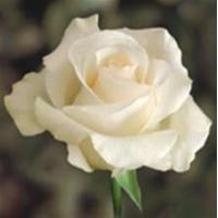 Buy cheap Amelia White Rose from wholesalers