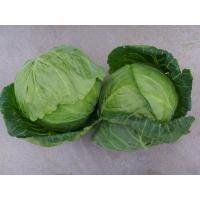 Best small cabbage wholesale