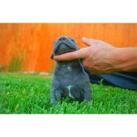 Buy cheap XXL Blue and Red American Pit Bull Terriers For Sale (929) 324-0371 from wholesalers